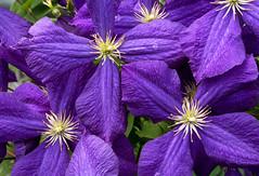 Anglų lietuvių žodynas. Žodis purple clematis reiškia violetinė raganė lietuviškai.