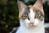 Gato Tom (Japo García) Tags: gato cat retrato mirada uno busto orejas ojos nariz bigotes felino callejero blanco manchas profundidaddecampo regladostercios fotografía japo garcía flickr verdes luz