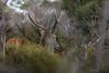 Cerf dans les genêts (Patrice Baud) Tags: cerf élaphe cervus hirsch deer reddeer cervio genêt montagne cerdagne pyrénées wild sauvage wildlife nature animal nikon nikond7100 nikkor300f4