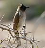 Dark-capped Bulbul (Pycnonotus tricolor) (berniedup) Tags: mphafahide imfolozi hluhluweimfolozi darkcappedbulbul pycnonotustricolor bulbul taxonomy:binomial=pycnonotustricolor