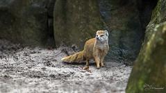 Yellow Mongoose (Paula Darwinkel) Tags: yellow mongoose animal nature zoo wildlife
