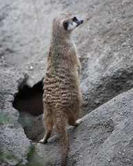 Meerkat (Suricata suricatta) (fisherbray) Tags: fisherbray usa unitedstates florida orangecounty orlando baylake disney waltdisneyworld wdw disneyworld nikon d5000 animalkingdom themepark kilimanjarosafaris meerkat suricatasuricatta suricate