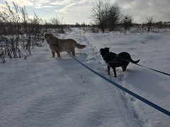Pufka & Bono (psiortal.pl) Tags: psiortal dog dogs pies psy pet animal zwierze futro fur nice love friend milosc przyjaciel przyjazn sweet goldenretriever sun slonce outside fynny lovely snow snieg winter zima