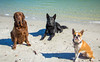 IMG_1903 (megscapturedtreasures) Tags: ammo sun sunset dog beach dogs ruff days daycare
