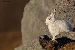 Mountain Hare - Cosy (crittersnapper) Tags: mountainhare scottishwildlife lepustimidus highlandwildlife aberdeenshirewildlife