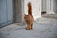 Street cat (elka.) Tags: cat chat katze katte kot kotka neko nikon animal nature corinth street greece gatta gato gata gatto