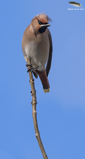 The proverbial bird on a stick (Waxwing)