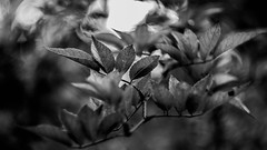 (C-47) Tags: leaves colors helios 442 canon eos 7d mk mark ii m42 bokeh green plant nature life effect effects dof deep details depth spinning