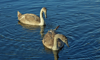 Young swans.