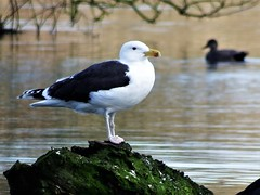 Great black-backed gull new to Anton Lakes (Nick.Bayes) Tags: great blackbacked gull new anton lakes