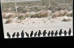 simil pingüino de magallanes (► ► www.giselas.com.ar ◄ ◄) Tags: pingüino de magallanes museo vidrio vegetacion sur argentina punta tombo
