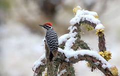 Ladder-backed Woodpecker -- Male (Picoides scalaris); Albuquerque, NM, Sandia Heights [Lou Feltz] (deserttoad) Tags: bird wildbird nature park desert newmexico outdoors cactus snow