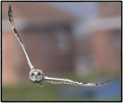 Short-eared Owl (CliveDodd) Tags: shorteared owl asio flammeus