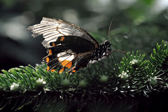 Papillons en Liberté 2017 - Photo 16 (Le Chibouki frustré) Tags: nikon nikond700 d700 700 fx fullframe montréal montreal homa hochelagamaisonneuve macro macrophotographie botanicalgarden jardinbotanique jardinbotaniquedemontréal montrealbotanicalgarden butterfly insect insects bokeh dof pdc papillonsenliberté2017 butterfliesgofree2017 closeuplens closeupfilter