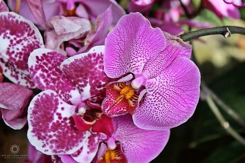 *Mainau - Schmetterlingshaus* - Orchidee