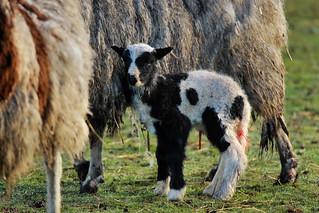 New born lamb (Explored)