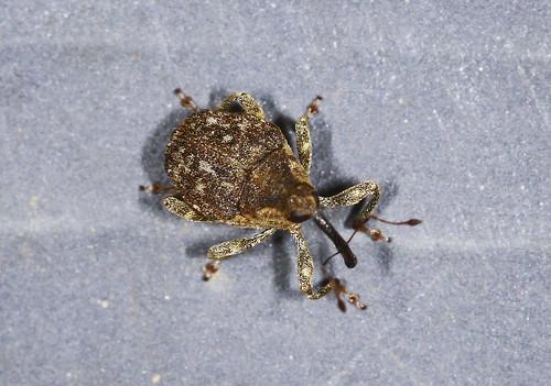 Weevil - Nedyus quadrimaculatus