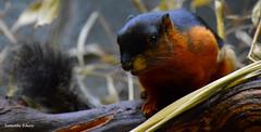 Prevost's squirrel, Artis (Samantha Schutte) Tags: amsterdam zoo nederland artis dierentuin