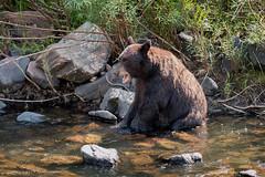 Yawn (Darhawk) Tags: black animals colorado wildlife bears denver frontrange mammals bigbear blackbears southplatteriver coloradowildlife