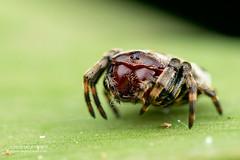 Crab orb weaver (Aspidolasius branicki) - DSC_2235 (nickybay) Tags: peru peruvianamazon amazon tambopata tambopataresearchcenter collpaisland macro aspidolasius araneidae orb weaver spider branicki crab branick