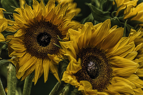 Sun Flowers HDR-1
