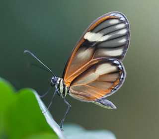 Clearwing in Colombia