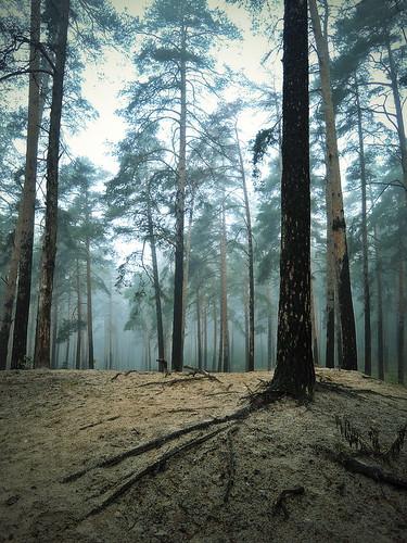 Лес в тумане. Подмосковье