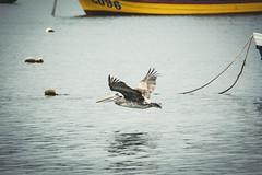 Y volar.... (ROGU !) Tags: chile sea del mar concepcion bio photowalk region oceano pelicano coliumo oelican