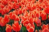 Burning with Love (NATIONAL SUGRAPHIC) Tags: flowers tulips laleler tulipsofturkei