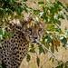 Cheetah / Masai Mara / Kenya