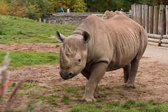 Eastern Black Rhinoceros (Gareth Christian) Tags: camera rhino mammals 80400mm chesterzoo easternblackrhinoceros dicerosbicornismichaeli nikond750 hoofedgrazing