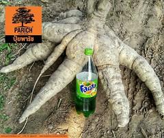 ใหญ่จนขวดแฟนต้า 1.25 ลิตร ดูเล็กเหมือน 250cc This cassava is so big that it makes a 1.25lt soda bottle looks like 250cc one