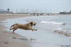 Hacia el agua (Sobrino de Murphy) Tags: dogs perros chiens canne gossos hundle