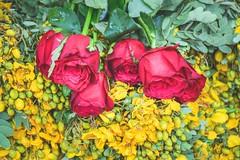DSC_0018 (Lukon fotography) Tags: street flowers red wallpaper india green rose yellow google search picture hyderabad backgroud telangana karimnagar lukonfotography lukonfotographythammishettymanojkumarpno9490093193emaillukonfotograph bathukama