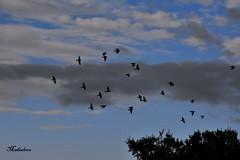 DSC_6067 (lourdestorreira) Tags: paisajes naturaleza pjaros cielo vuelos bandada