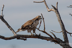 Red Tailed Hawk dines on a garter snake