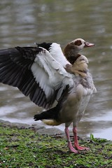 An Egyptian Goose Stretches its Wings (praja38) Tags: life uk wild portrait england lake london nature water animal bill wings pond europe britain wildlife wing beak feathers feather humour stretch goose shore egyptian stjamespark waterfowl flap capricorn egyptiangoose