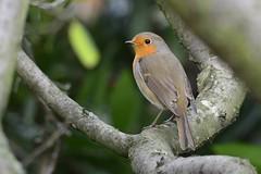 _DSC5113 Roodborst : Rouge-gorge familier : Erithacus rubecula : Rotkehlchen : European Robin