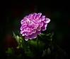 _TL60084_-2 (5816OL) Tags: dahlias dad arboretum2016 flowers arboretum
