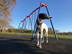 greyt contemplations (minitanker) Tags: greyhound staring sun childrens playground park blue sky angles