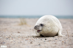 Seal pup, Robbenbaby, grey seal, Kegelrobbe, Halichoerus grypus @ Helgoland, Heligoland in december 2016 (Jan Rillich) Tags: helgoland heligoland northern sea northernsea nordsee insel düne sandstein jan rillich janrillich picture photo photography foto fotografie eos digital wildlife animal nature beautiful beauty sunny sun fauna flora free animalphotography image 2016 eastern winter küste nordseeküste sand dune dezember december 5dmarkiii canon canon100400mm sealpup robbenbaby greyseal kegelrobbe halichoerusgrypus seerobbe baby howler pup white heuler babyrobbe