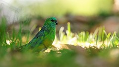 red rumped parrot (look to see) Tags: australiavogelbirdred rumped parrot 420mm licht light bokeh 2017 groen green