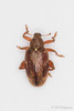 Orchestes testaceus (Olli_Pihlajamaa) Tags: animalia arthropoda coleoptera cucujiformia curculionidae curculioninae curculionoidea hexapoda insecta invertebrata orchestes orchestestestaceus polyphaga eläinkunta erilaisruokaiset hyönteiset kovakuoriaiset kuusijalkaiset kärsäkkäät kärsäkäsmäiset lepänhyppykärsäkäs niveljalkaiset selkärangattomat kirkkonummi uusimaa finland fi