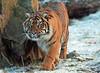 sumatran tiger Burgerszoo JN6A1386 (j.a.kok) Tags: tijger tiger sumatraansetijger sumatrantiger pantheratigrissumatrae cat kat predator sumatra asia azie mammal zoogdier