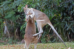 Flying leap (aussiegypsy_catching up) Tags: agilewallaby wallabies two macropusagilis agile longfoot long foot social young juvenile common north northern australia australian aussie highjump jump jumping aussiegypsy lorraineharris learn learning fight fighting play male openforest woodland grassland terrestrial gregarious active light stripe face thigh hip white brown macropod marsupial mammal animal qld queensland tropical tropics adaptable herbivore abundant widespread fnq tnq nt northernterritory kuranda athertontablelands sideview upright spar sparring outdoors nature fightingpose mediumsize roo kanga kangaroo