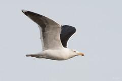 Great black backed gull (Shane Jones) Tags: greatblackbackedgull gull seabird bird predator wildlife nature nikon d500 200400vr tc14eii
