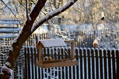 Visitors - Blue tit (Zsofia Nagy) Tags: naturallight flickrlounge weeklytheme bluetit bird feeder birdfeeder d3100 dof depthoffield winter garden tree fence bright shine