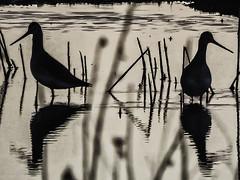 Agujas colinegras ( Limosa limosa) al contraluz en la puesta del Sol (Esmerejon) Tags: agujascolinegras alcontraluzenlapuestadelsollagunasdelanava fuentesdenava palencia17122016 aves limicolas naturaleza picoslargos