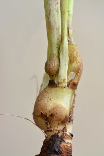 Aulacidea tragopogonis on Tragopogon pratensis