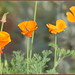 Poppies are Poppin'